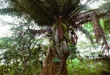 cahune-tree
